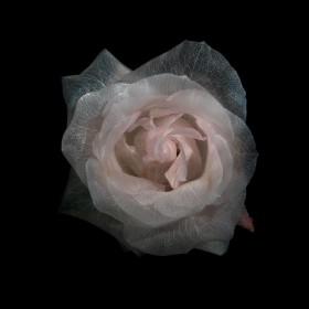 Rosas transparentes:  'glass' series de Alexander James
